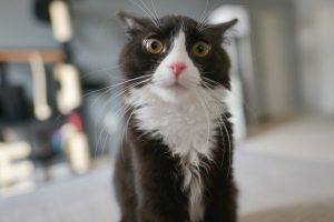 what to give a cat with a uti