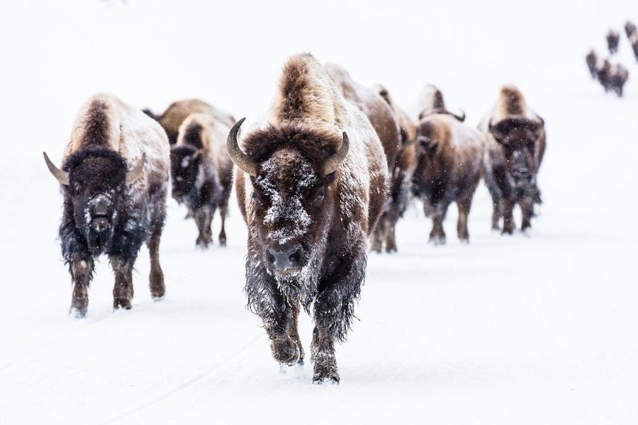 http://euro-pulse.ru/wp-content/uploads/2017/09/1_bison-2237654_1280.jpg